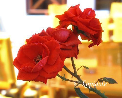 rose_2018-10-29.jpg